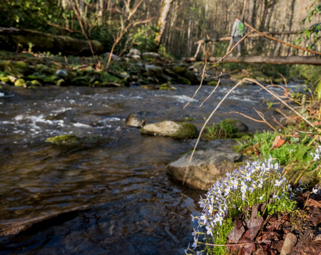 bluet: Bluette flowers in foreground near log bridge in background Stock Photo