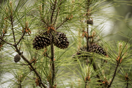 pine needles close up: Pine Cones in Tree with pollen Stock Photo