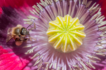 anther: Macro Shot of Honey Bee inside Poppy Flower with yellow anther