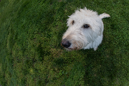 man's best friend: Labradoodle Looks at Camera with Fisheye Lens on field of grass