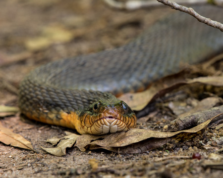 hiss: Plain-bellied Water Snake Close Up in Dried Leaves on hiking trail
