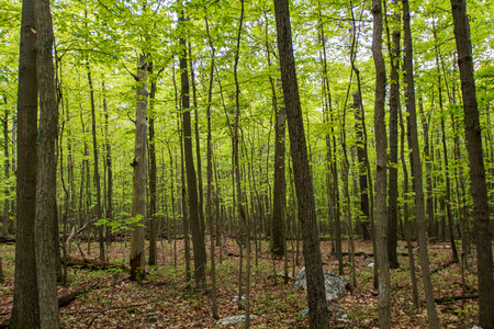 appalachian: Early Spring Leaves in Young Forest along the Appalachian trail