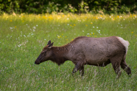 great smoky national park: Female Elk Side View Close Up in field in Great Smoky Mountain National Park