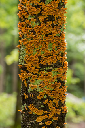 flaky: Flaky Orange Fungus Grows on Tree Trunk in summer forest Stock Photo