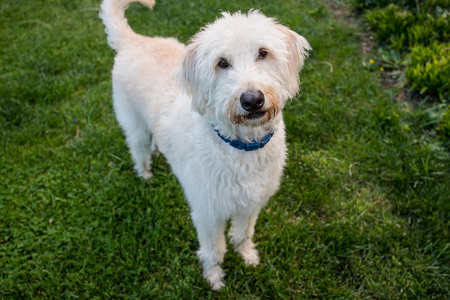 eyes looking down: Labradoodle Stands and Looks at Camera with a green grass background