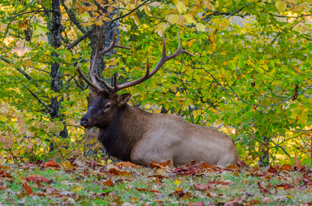 great smokies: A large male elk rests in a field with fallen leaves near the Smoky Mountains