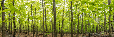 appalachian trail: New Growth on The Appalachian Trail Panorama shows bright green leaves popping throughout the forest