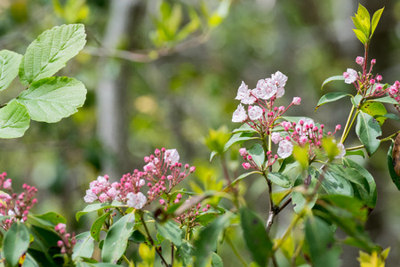 Pink Mountain Laurel opening in spring in a mountain forest