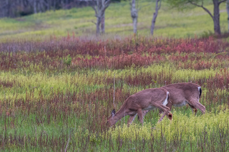 white tailed: Two White Tailed Deer Feed on Grass in Brushy Meadow
