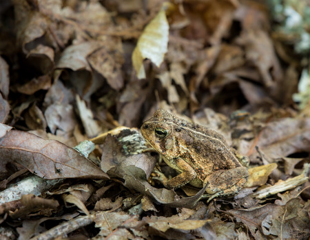 close fitting: Toad in Dried Leaves aside a trail in early summer