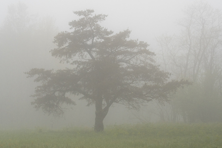 surrounds: Thick Fog Surrounds Tree in the Mountains on an early summer morning