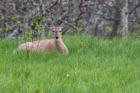 white tailed: White Tailed Deer Resting in Tall Green Grass before dusk Stock Photo