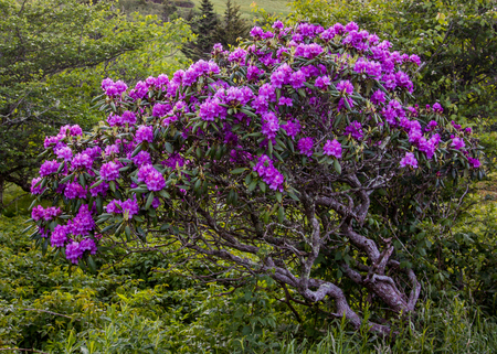 roan: Gnarly Rhododendron Bush Covered in Blooms in Carvers Gap in the Roan highlands