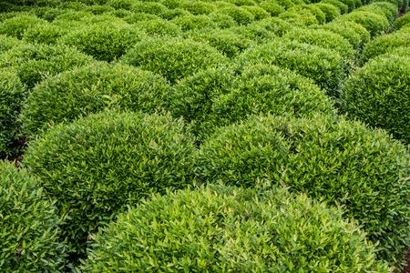 sculpted: Garden of Sculpted Green Shrubs fanning out diagonally
