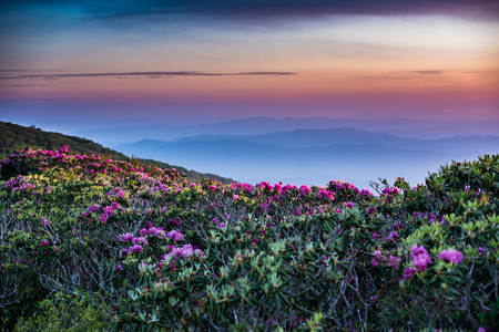 stretch out: Rhododendron Stretch Out into Sunrise with layers of blue ridge mountains behind
