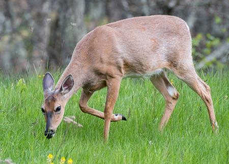 White Tailed Deer Walking in Green Grass in open meadow Stock Photo