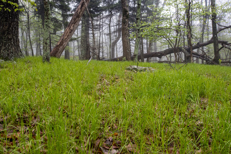 gree: Gree Grass On A Foggy Forest Floor in the Virginia mountains