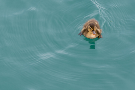 webbed feet: Goose Chick Swimming Top Right Corner on blue water Stock Photo