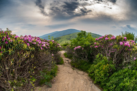 appalachian trail: Appalachian Trail Descends Jane Bald Through Rhododendron bloom in June Stock Photo