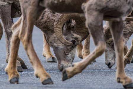 curved leg: Framed Big Horn Sheep Head through the legs of another bighorn sheep Stock Photo