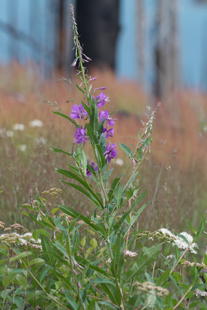 taller: Purple Wildflowers Grow in Burn Area before taller plants and trees move in