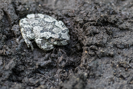 camoflauge: Gray Tree Frog Sitting In A Boot Print on a muddy trail