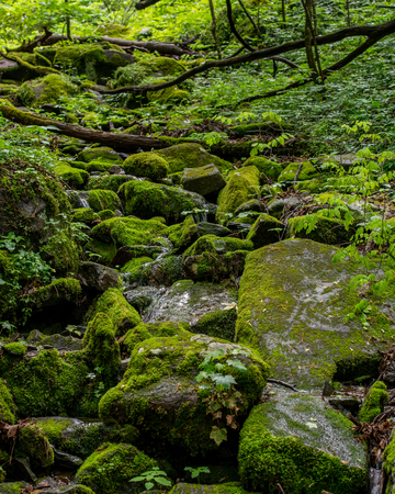 great smokies: Moss Covered Forest in Great Smoky Mountains in early summer