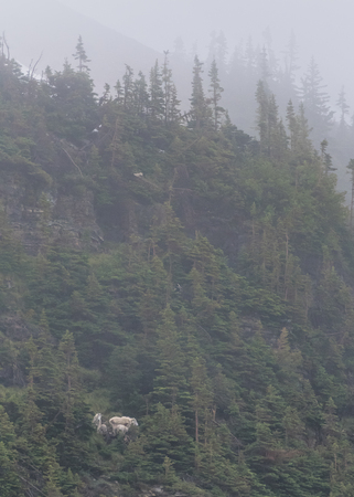 mountain goats: Family of Mountain Goats on Thick Forested Cliff on a foggy early summer day Stock Photo