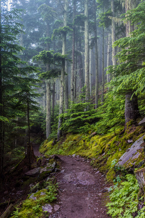 Foggy Trail with Moss Covered Trees in vibrant green summer forest