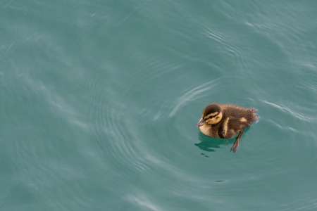 Goose Chick Swimming Bottom Right Corner with yellow and brown soft feathers