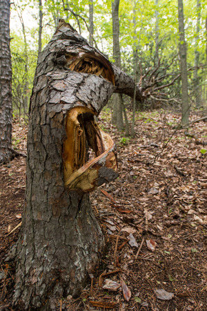 fallen tree: Tree Cracked from Extreme Weather in early summer forest