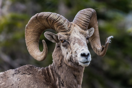 tuft: Big Horn Sheep Looking At Camera with tuft of fur caught in end of horn