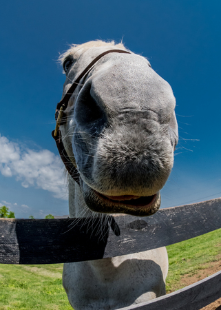 Fisheye of Horse Nose peeking over fence Banco de Imagens