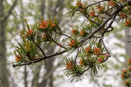 pinecones: Wide View of Tiny Pine Cone Buds with rain drops