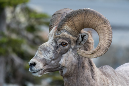 Big Horn Sheep Side View Looking Left with crooked nose