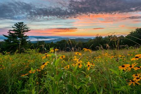 Black Eyed Susan Flowers at Sunset over mountains in Shenandoah