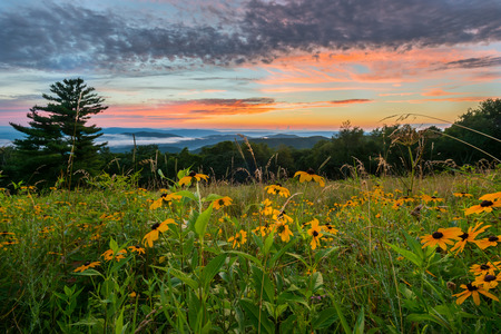Black Eyed Susan Flowers at Sunset over mountains in Shenandoah