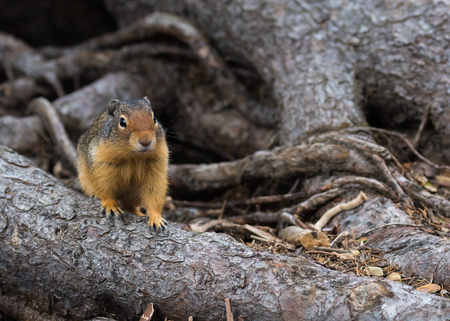 approaches: Ground Squirrel Hunting for Food approaches close to find crumbs Stock Photo