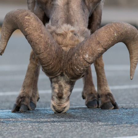 Big Horn Sheep Licking Pavement because of the flavor of residual antifreeze on it