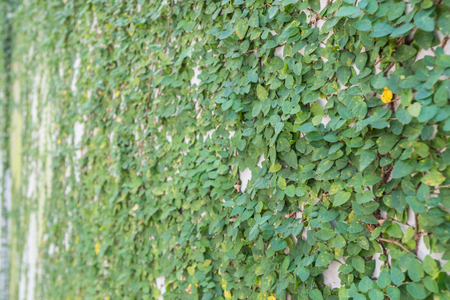 angle view: Ivy Covering Wall with angle view and selective focus Stock Photo