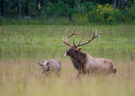 Bull Elk Unsuccessfully Tries to Mate with Cow  in the beginning of the rut season Stock Photo