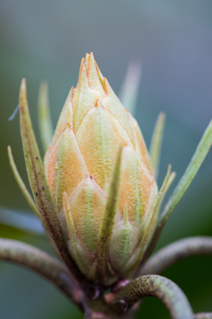 tight focus: Rhododendron Bud Close Up