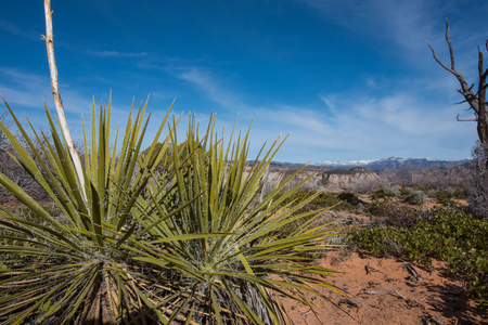 Yucca With Snow Capped Mountains in the Distance in Utah