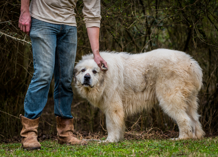 great pyrenees: Great Pyrenees Herding Dog Getting Some Ear Scratches From His owner