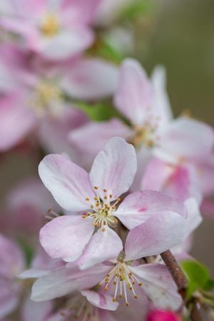 Blooming Flowers on Crabapple Tree in Spring Vertical