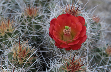 joshua: Pollen Covered Claret Cup Cactus Flower during super bloom Stock Photo