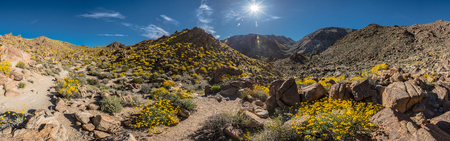 joshua: Panorama of Blooming Trail to FortyNine Palms Oasis in Joshua Tree