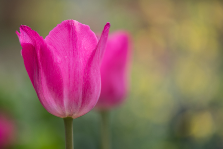 Pink Tulip with blurred Copy Space to Right Stock Photo