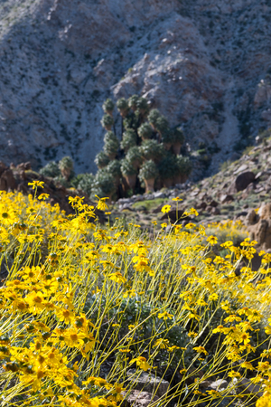 joshua tree national park: Yellow Flowers Bloom with Fortynine Palms Oasis in the Distance Stock Photo