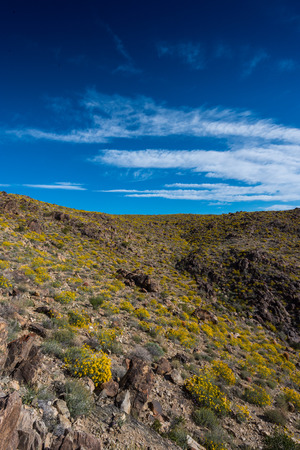 joshua: Yellow Bloom of BrittleBush Below Deep Blue Sky with wispy clouds Stock Photo